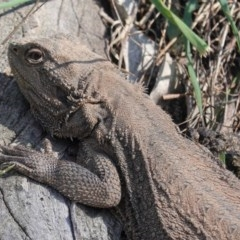 Pogona barbata (Eastern Bearded Dragon) at Red Hill Nature Reserve - 2 Sep 2020 by JackyF