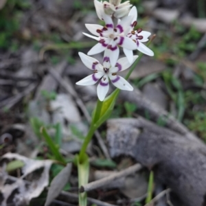 Wurmbea dioica subsp. dioica at Red Hill Nature Reserve - 1 Sep 2020