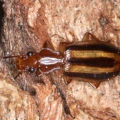 Demetrida sp. (genus) (Bark carab beetle) at Mount Ainslie - 2 Sep 2020 by jbromilow50