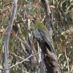 Oriolus sagittatus (Olive-backed Oriole) at Red Hill Nature Reserve - 1 Sep 2020 by JackyF