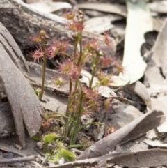 Drosera auriculata (Tall Sundew) at Wee Jasper, NSW - 2 Sep 2020 by JudithRoach