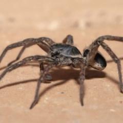 Venatrix sp. (genus) (Unidentified Venatrix wolf spider) at Evatt, ACT - 1 Sep 2020 by TimL