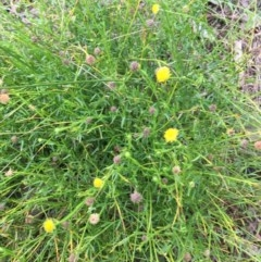 Calotis lappulacea (Yellow Burr Daisy) at - 2 Sep 2020 by Alburyconservationcompany
