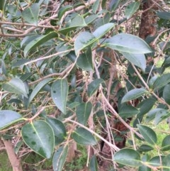 Ligustrum lucidum (Large-leaved Privet) at Wodonga - 2 Sep 2020 by Alburyconservationcompany