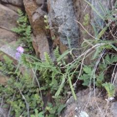 Glycine clandestina (Twining glycine) at Rob Roy Range - 31 Mar 2020 by michaelb