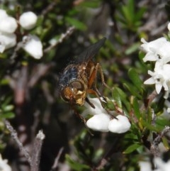 Chaetophthalmus sp. (genus) (A bristle fly) at Mount Taylor - 29 Aug 2020 by MatthewFrawley