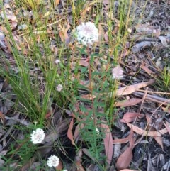 Pimelea linifolia (TBC) at EDM Private Property - 31 Aug 2020 by Evelynm