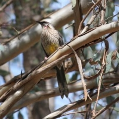 Anthochaera carunculata (Red Wattlebird) at Red Light Hill Reserve - 2 Sep 2020 by PaulF