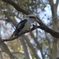Dacelo novaeguineae (Laughing Kookaburra) at Red Light Hill Reserve - 2 Sep 2020 by PaulF