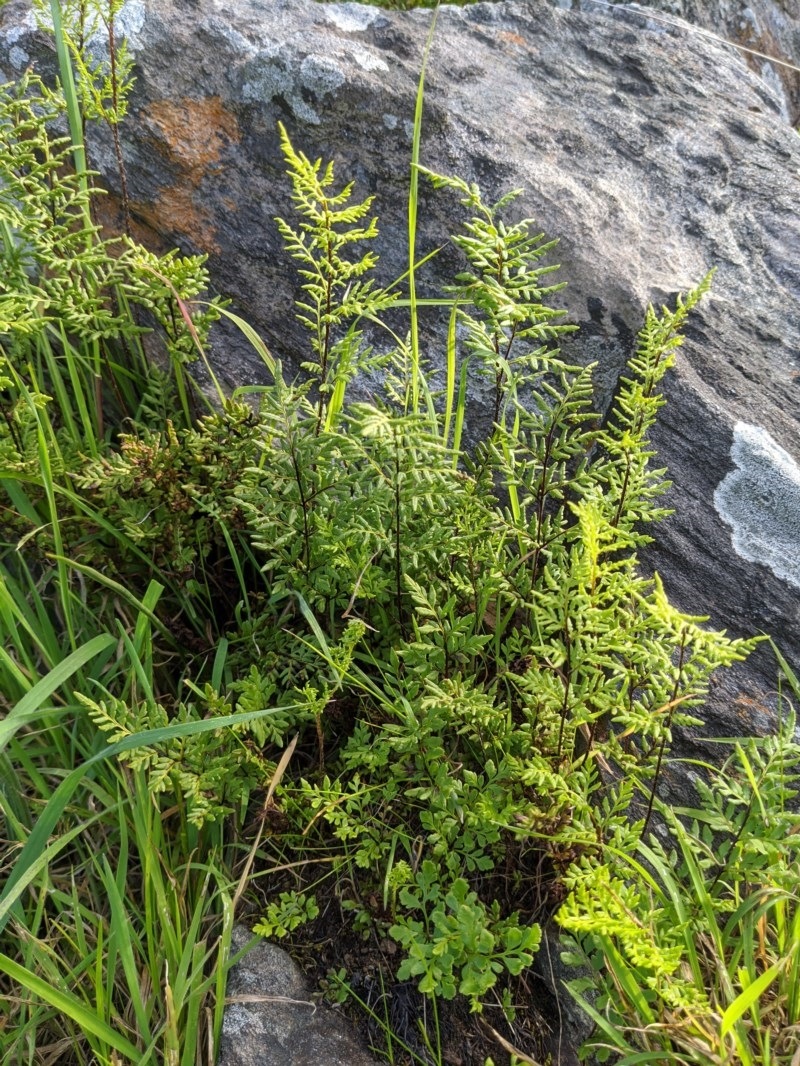 Cheilanthes sp. at Red Light Hill Reserve - 31 Aug 2020