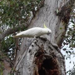 Cacatua galerita (Sulphur-crested Cockatoo) at Mount Mugga Mugga - 2 Sep 2020 by Mike