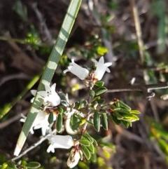 Cryptandra amara (Bitter cryptandra) at Flea Bog Flat, Bruce - 3 Sep 2020 by tpreston