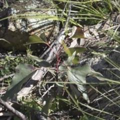 Brachychiton populneus subsp. populneus (Kurrajong) at The Pinnacle - 29 Aug 2020 by AlisonMilton