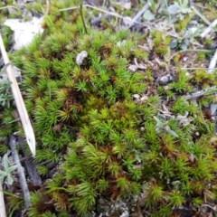 Polytrichaceae at Flea Bog Flat, Bruce - 3 Sep 2020 by tpreston