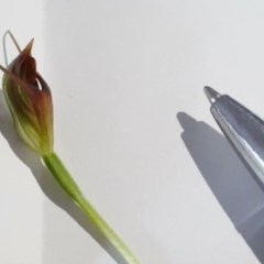 Unidentified Orchid (TBC) at South Durras, NSW - 2 Sep 2020 by nickhopkins