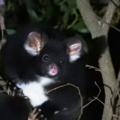 Petauroides volans (Greater Glider) at Namadgi National Park - 12 Jun 2020 by Liam.m