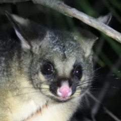 Trichosurus vulpecula (Common Brushtail Possum) at Macarthur, ACT - 9 Jul 2020 by Liam.m