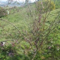 Indigofera australis subsp. australis (Australian Indigo) at Holt, ACT - 3 Sep 2020 by dwise