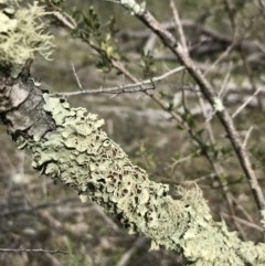Parmeliaceae (A lichen family) at The Pinnacle - 3 Sep 2020 by annamacdonald
