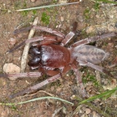 Clubiona sp. (genus) (Unidentified Stout Sac Spider) at Majura, ACT - 1 Sep 2020 by jbromilow50
