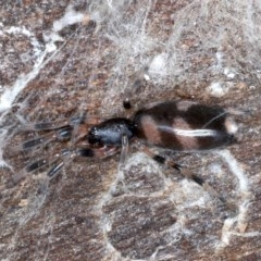 Lampona sp. (genus) (White-tailed spider) at Mount Ainslie - 1 Sep 2020 by jbromilow50