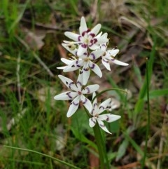 Wurmbea dioica subsp. dioica (Early Nancy) at Wodonga, VIC - 2 Sep 2020 by ClaireSee