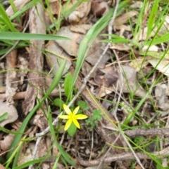 Pauridia vaginata (Yellow Star) at Wodonga, VIC - 3 Sep 2020 by ClaireSee