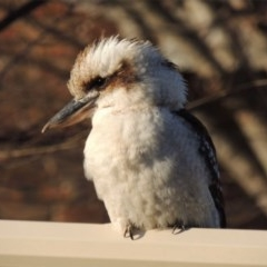 Dacelo novaeguineae (Laughing Kookaburra) at Ngunnawal, ACT - 3 Sep 2020 by GeoffRobertson