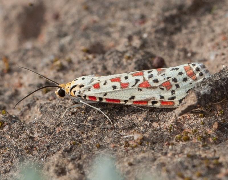 Utetheisa sp. (genus) at Callum Brae - 4 Sep 2020