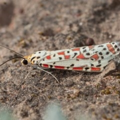 Utetheisa sp. (genus) (A tiger moth) at Callum Brae - 4 Sep 2020 by rawshorty