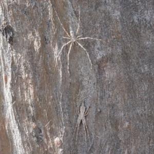 Tamopsis fickerti at Callum Brae - 4 Sep 2020