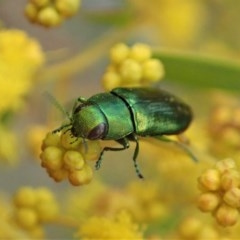 Melobasis obscurella (Obscurella jewel beetle) at Black Mountain - 3 Sep 2020 by CathB