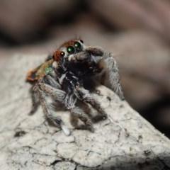 Maratus calcitrans (Kicking peacock spider) at Wee Jasper, NSW - 4 Sep 2020 by Laserchemisty