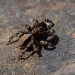 Euophryinae sp.(Undescribed) (subfamily) (A jumping spider) at Wee Jasper, NSW - 4 Sep 2020 by Laserchemisty