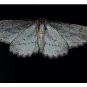 Ectropis excursaria at Ainslie, ACT - 3 Sep 2020