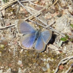 Zizina otis (Common Grass-blue) at Mount Taylor - 29 Aug 2020 by MatthewFrawley
