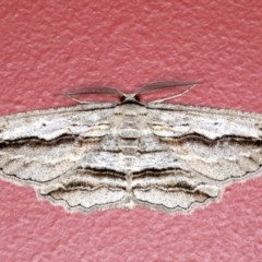 Euphronarcha luxaria (Striated Bark Moth) at Ainslie, ACT - 3 Sep 2020 by jbromilow50