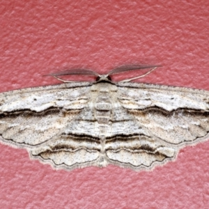 Euphronarcha luxaria at Ainslie, ACT - 3 Sep 2020