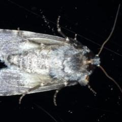 Thoracolopha verecunda at Ainslie, ACT - 3 Sep 2020