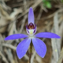 Cyanicula caerulea (Blue fingers) at Piney Ridge - 4 Sep 2020 by AaronClausen
