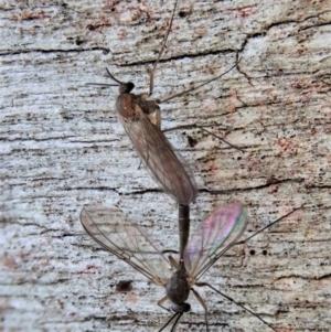 Mycetophilidae sp. (family) at Aranda Bushland - 29 Aug 2020
