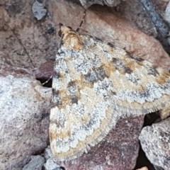 Dichromodes disputata (Scaled Heath Moth) at Carwoola, NSW - 5 Sep 2020 by tpreston