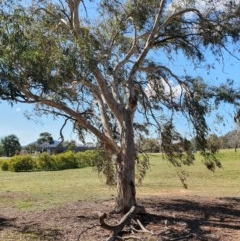 Eucalyptus sp. (A gum tree) at Hughes Grassy Woodland - 5 Sep 2020 by TomT