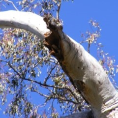 Dacelo novaeguineae (Laughing Kookaburra) at Mount Mugga Mugga - 24 Aug 2020 by MichaelMulvaney