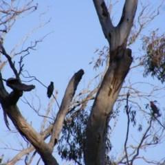 Callocephalon fimbriatum (Gang-gang Cockatoo) at Mount Mugga Mugga - 3 Sep 2020 by MichaelMulvaney