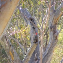 Callocephalon fimbriatum (Gang-gang Cockatoo) at Red Hill Nature Reserve - 3 Sep 2020 by MichaelMulvaney
