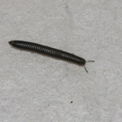 Ommatoiulus moreleti (Portuguese Millipede) at Googong, NSW - 1 Sep 2020 by WHall