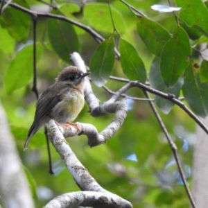 Tregellasia capito (Pale-Yellow Robin) at West Cooroy State Forest by Liam.m