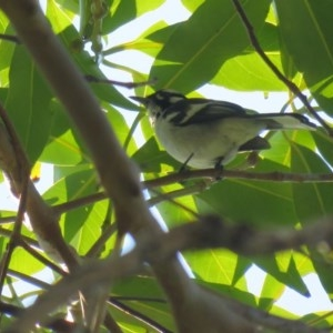 Carterornis leucotis (White-eared Monarch) at Noosa National Park by Liam.m
