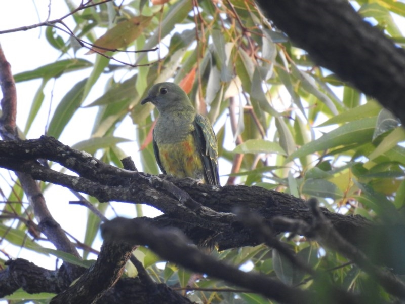 Ptilinopus regina at Noosa National Park - 19 Jul 2018